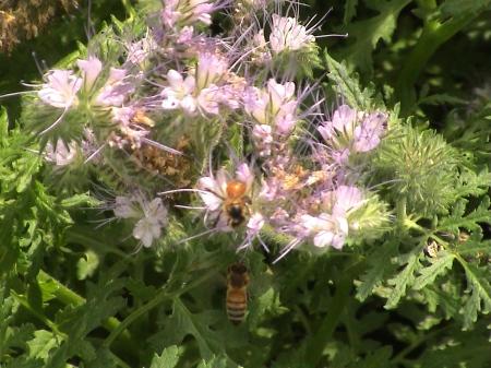 phacelia tanecifolia et abeilles frere adam