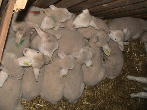 lambs bed in