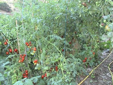 terrassement  et tomates 037