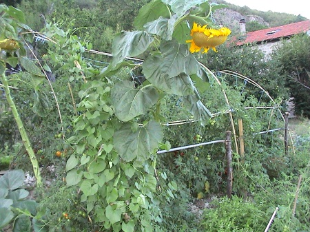 terrassement  et tomates 039