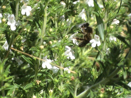 abeilles pap juil09 007