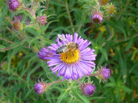 bee aster